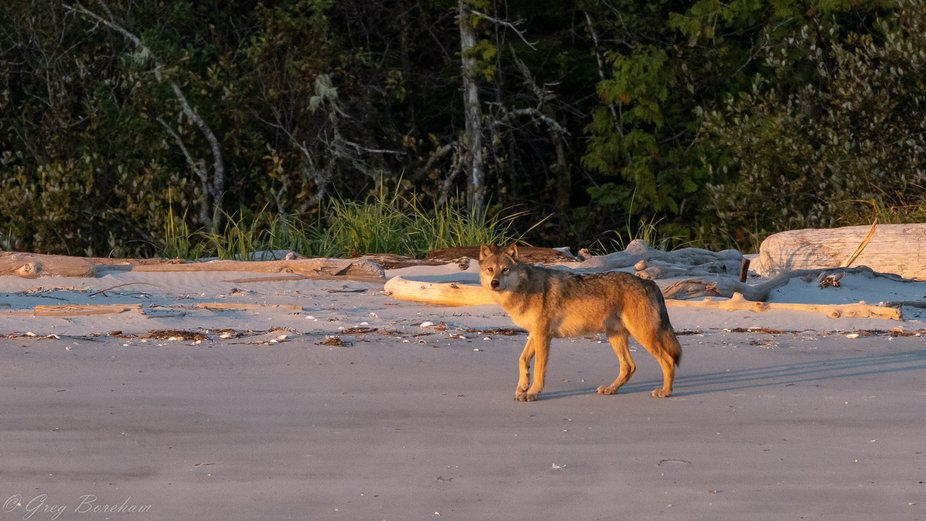 Walking along a beach in the Great Bear Rainforest when this beautiful wolf joined us at sunset.