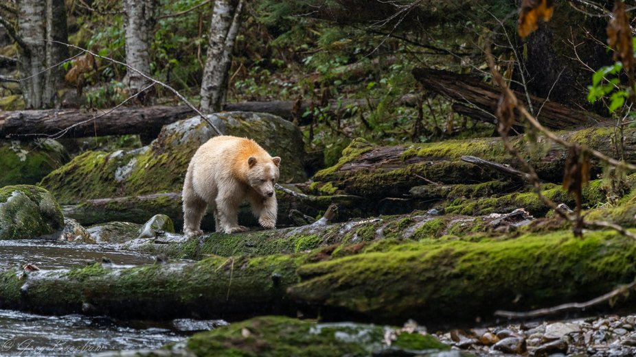 Kermode bears are a rare subspecies of the American black bear that carry a recessive gene and wh...
