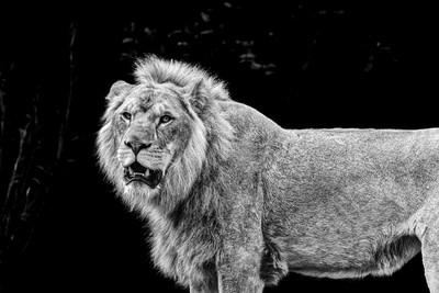 Lion 05 - Black & White