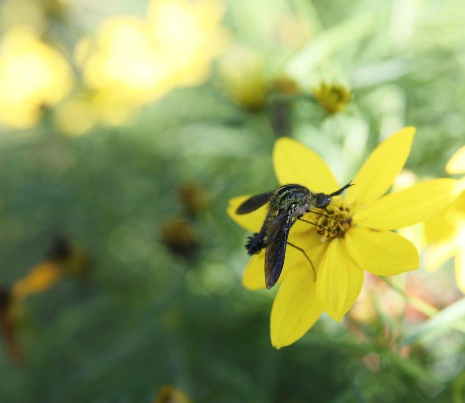 Hunchback Bee