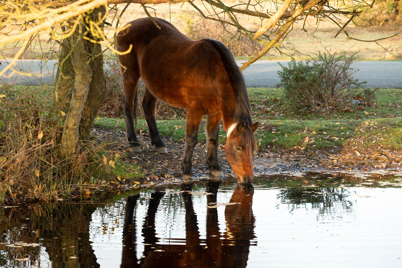 Brown new forest pony drinking from a pond in the New Forest, Hampshire, GB.