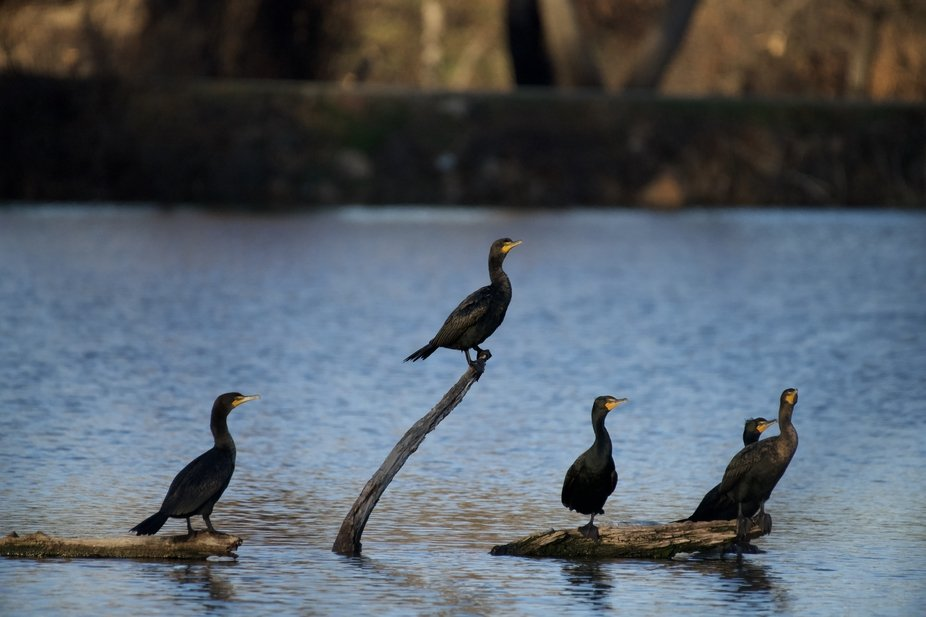 A family of Cormorants basking in the sun!!