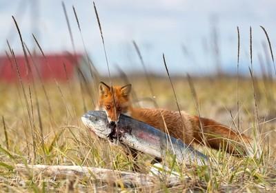 Ezo Red Fox with Mahi Mahi