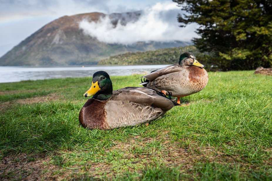 Mallards at Kerr Bay, St Arnaud in the Nelson Lakes district.