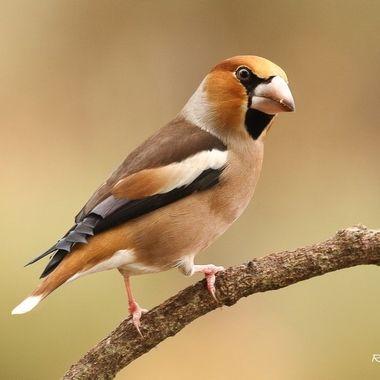 Coccothraustes Coccothraustes, es un ave robusta de fuerte pico que le permite comer diversos frutos. Es dificil de ver y mas de fotografiar. Desde un hide. Sierra de Francia (Spain)