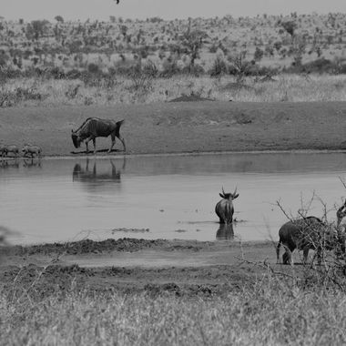 Blue Wildebeest chasing Warthogs at a waterhole in Kruger National Park.