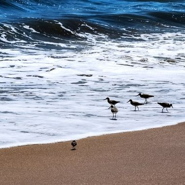Sanderlings Searching for Food NW
