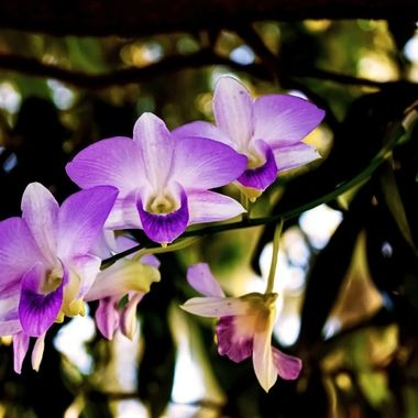 Orchids in My Tree NW