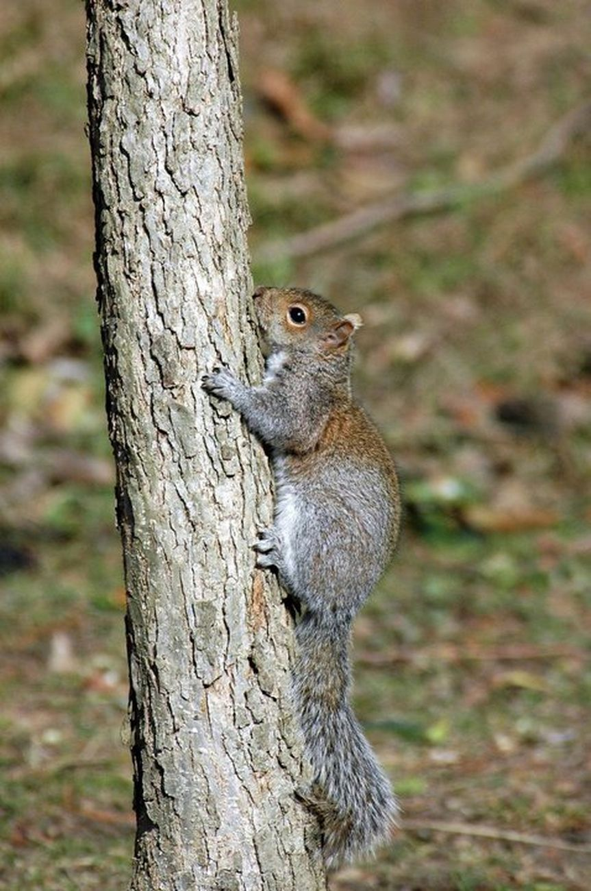Squirrell Climbing a Tree I