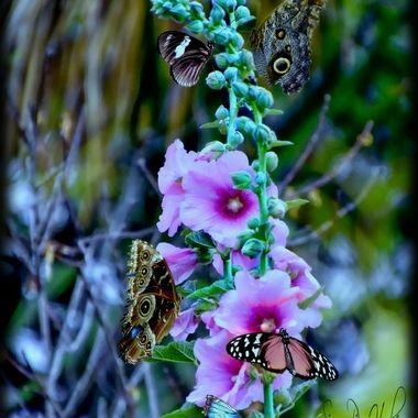 Butterflie-Comp-ps_pe   Butterfly Festival.