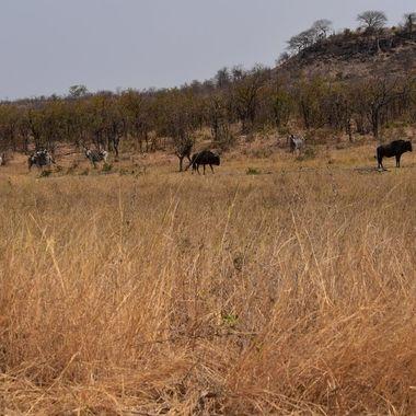 landscape - Blue wildebeest, zebra, boabab tree