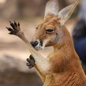 Cute Wallaby