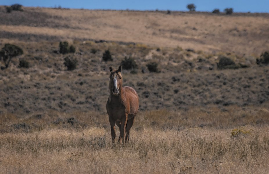 The wild horses in Nevada are much less human tolerant than in other states. This stallion was ke...
