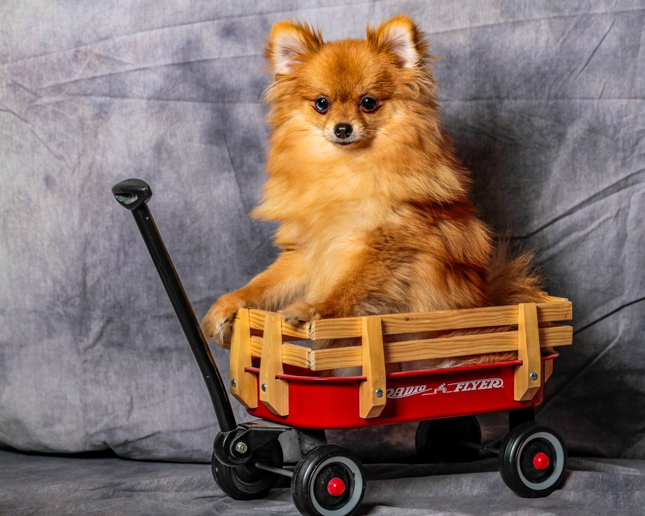 This is our Pomeranian Ginger, we were taking some photos at home and this is one we liked.