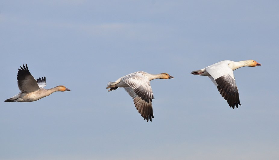 Hundreds of Snow Geese arrive every day to winter here.