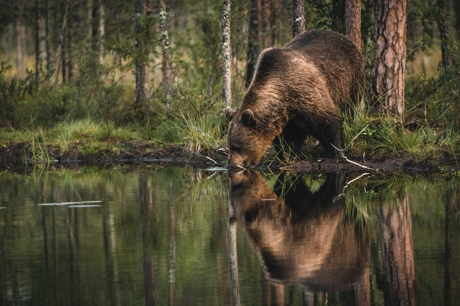 Bear having a sip of water, luckyly its being shot by photographers  and not hunters.