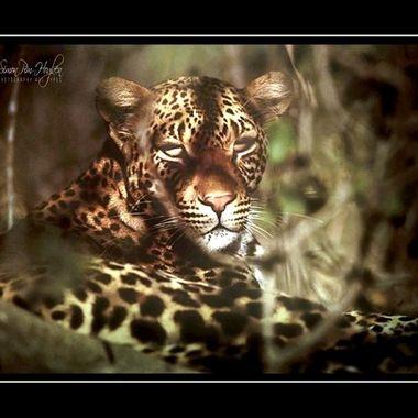 36ps_pe  Leopard