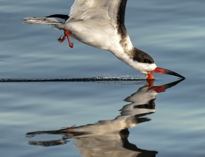 skimmer skimming close 2US