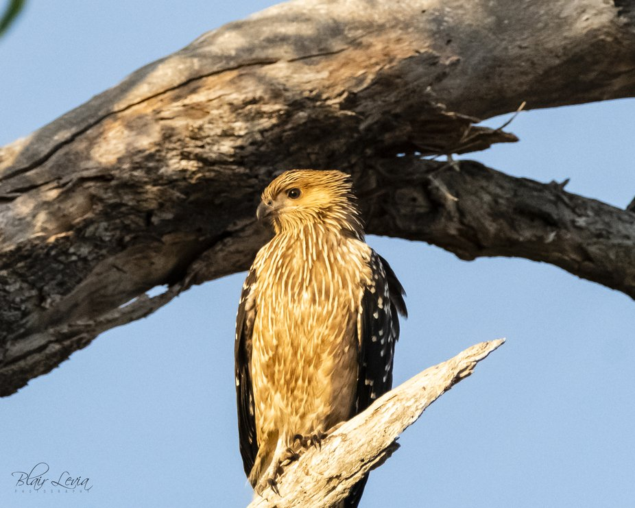 Whistling Kite soaking up the morning sun-3