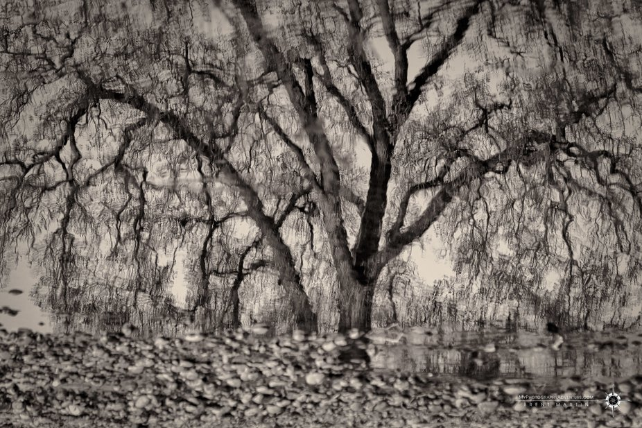 Winter oak reflecting in a quiet spot along the American River near Sacramento, CA.