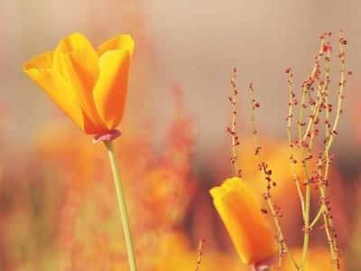 Yellow Poppies 19.04.20 188 amb