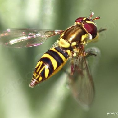 Colorful red-eyed fly