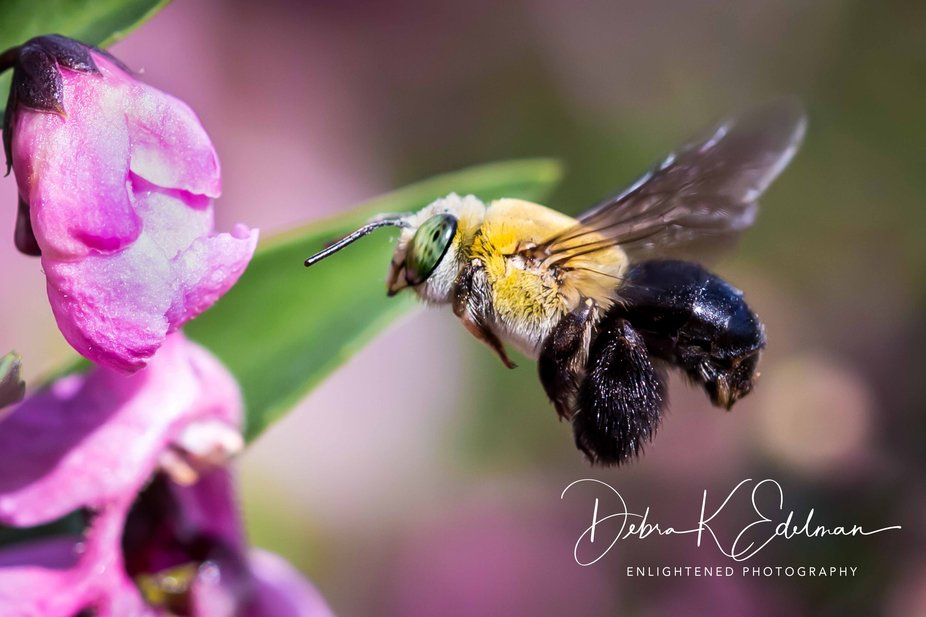 Bumble bee going to lunch