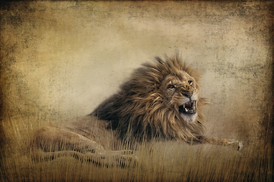 An artistic look of this lion showing his teeth.