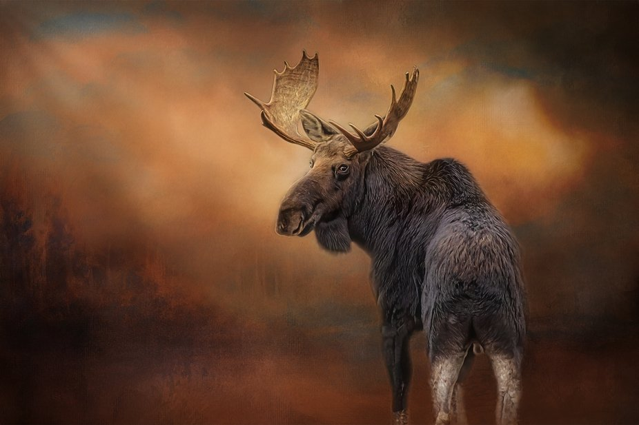 Heres a digital painting of this awesome Bull Moose looking back to get a picture taken