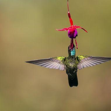 Talamanca  Hummingbird DSC02128