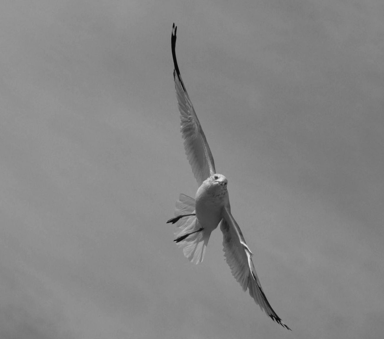 Sea Gull banking for a Landing I
