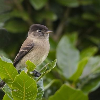 This small bird is difficult to spot, endemic to Costa Rica and Panama highlands.
