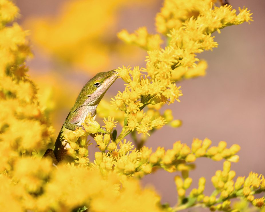 This very small green anole seemed to be attempting to match the yellow blooms of the goldenrod...