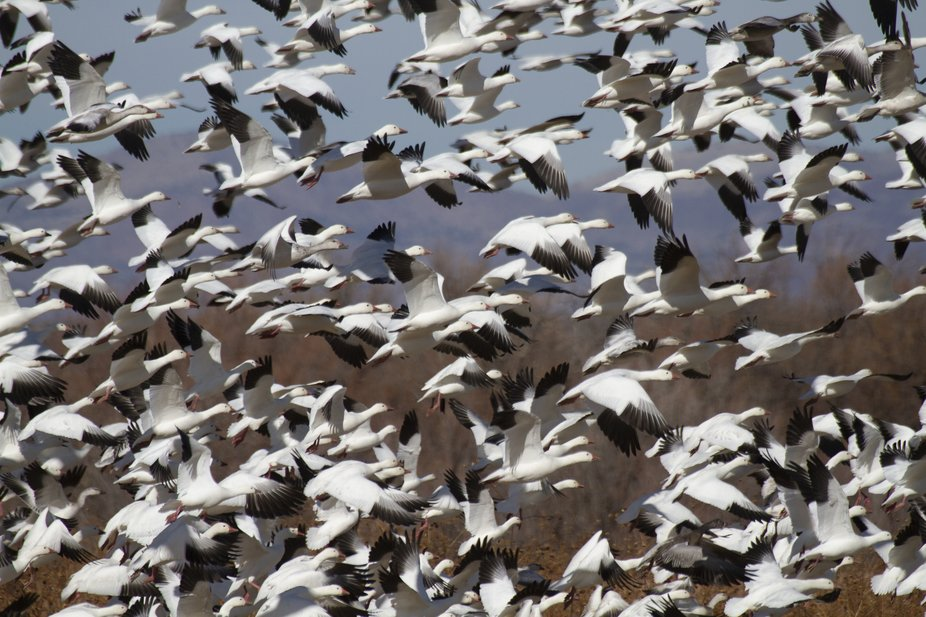 """Snow Geese """" Blast off"""" in the Bosque del Apache, NM skies."""