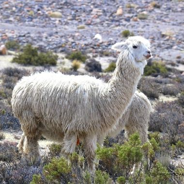 Alpaca at 4,900m (16,000ft) above sea level, on the way from Arequipa to Colca River Valley,Peru