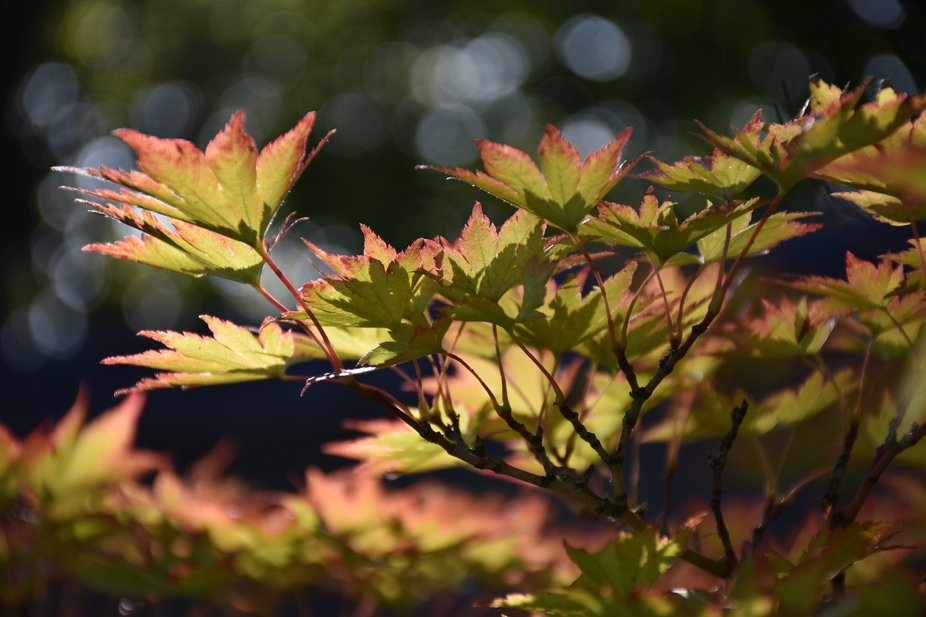 Japanese maple leaves drenched in morning light with bokeh background SOC  DSC_0362.JPG