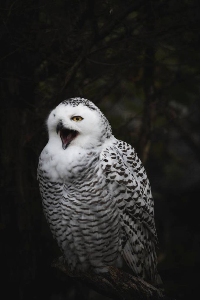 Captured image of this gorgeous snowy owl and decided to post it now while watching Harry Potter when saw Hedwig reminded of this beautiful bird.