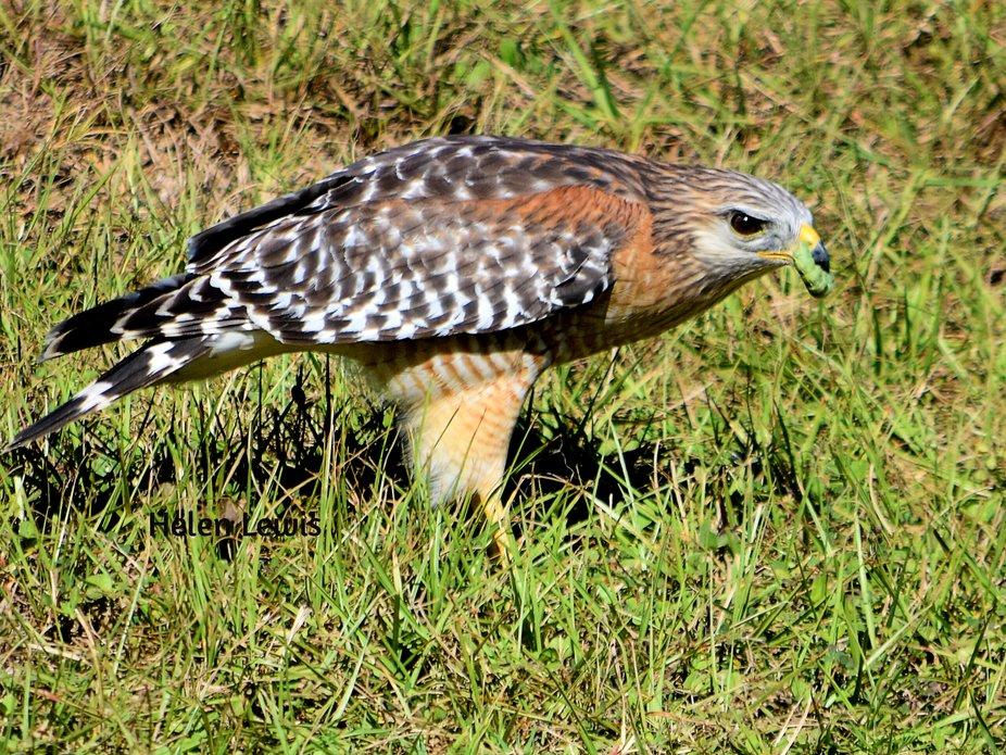 Red-shouldered Hawk caught bug