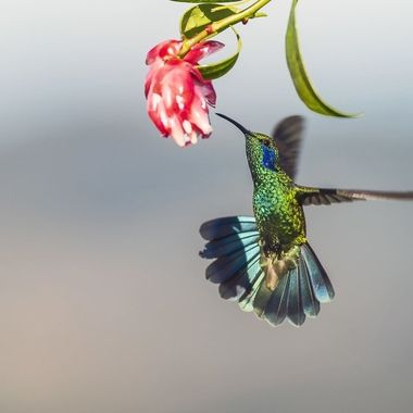 Green-violetear hummingbird DSC02269