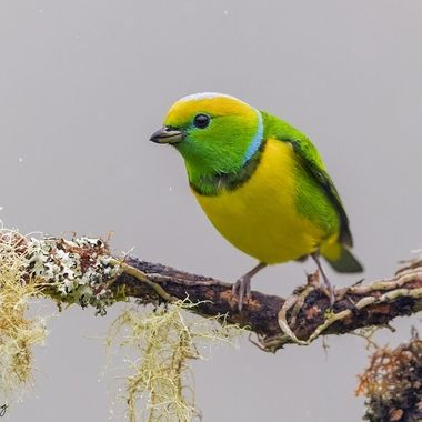 This colorful and beautiful bird is endemic to Costa Rica and western Panama.