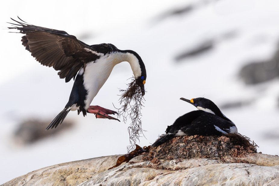 Spent an hour photographing these stunning blue-eyed shags (Antarctic Cormorants) in Antarctica. ...