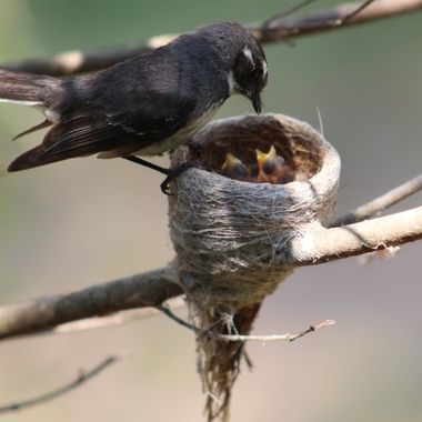 Fantail, feeding the young