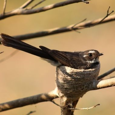 Fantail on the nest