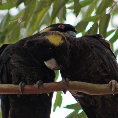 Yellow tailed black cockatoos preening
