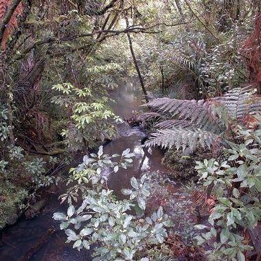 Waipoua Forest - New Zealand
