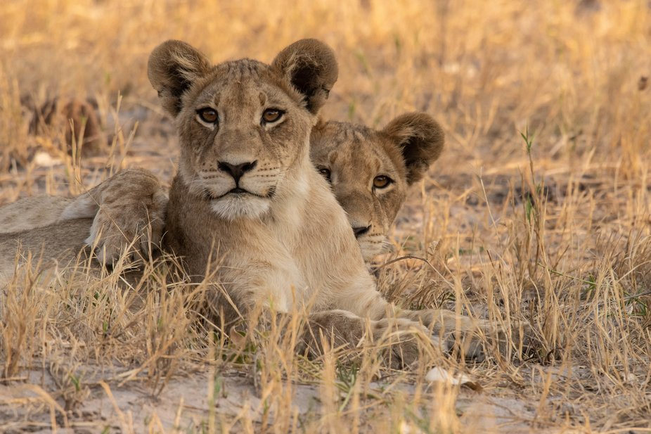 Kwara really made up for the few lion sightings we had in Khwai with a few small prides of liones...