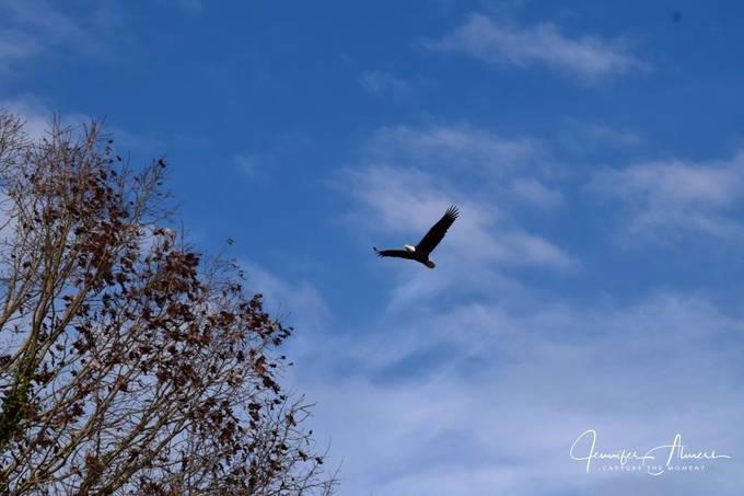 Eagle at Junaluska 1