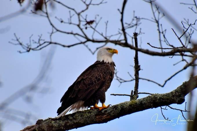 Eagle at Junaluska 3