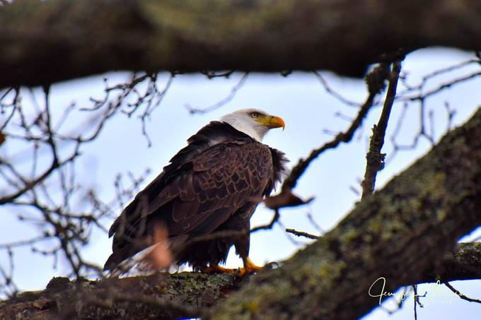 Eagle Among the Branches