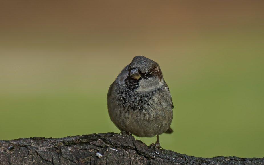 house sparrow   domaci vrabec  Passer domesticus
